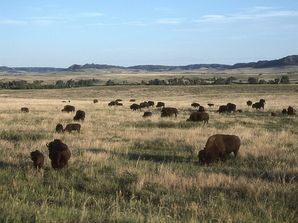 Bison at Ft. Robinson