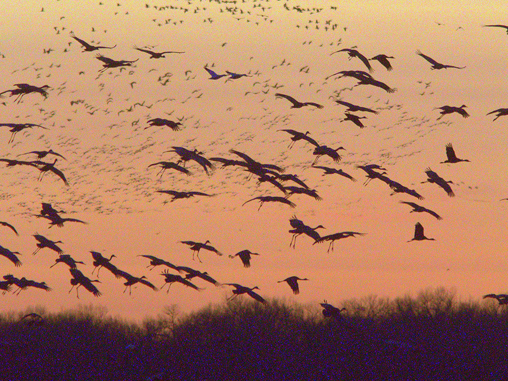Sandhill cranes by Paul A. Johnsgard