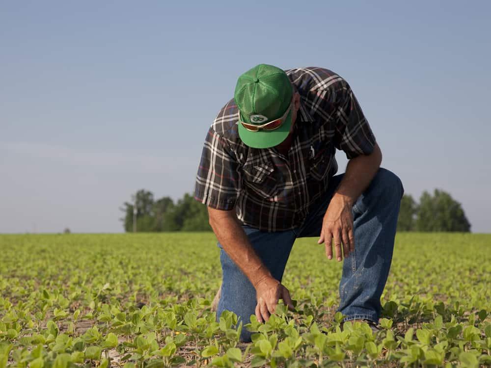 Farmer checks on early growth of soybeans