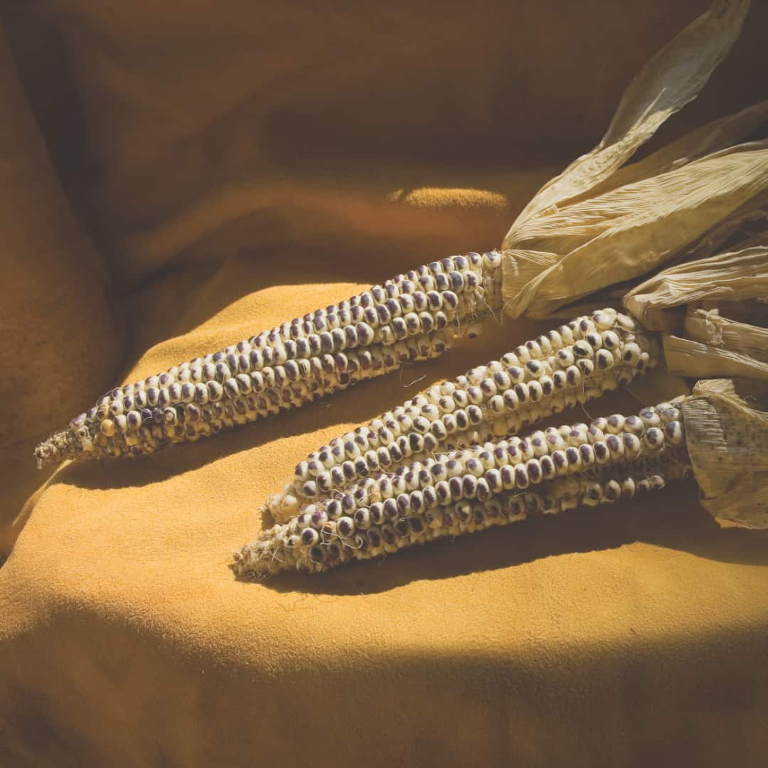 Eagle corn was renewed in 2005 when Ronnie O'Brien planted the last 25 kernels in the Echo-Hawk family's possession. (Prairie Fire and Ken Bouc/NEBRASKAland Magazine)